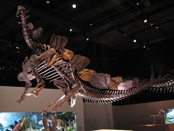Stegosaurus rearing on hind legs. Houston Museum of Natural Science, Houston, TX.