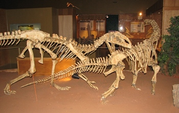 Monolophosaurus attacking a Bellusaurus. Wyoming Dinosaur Center, Thermopolis, WY.