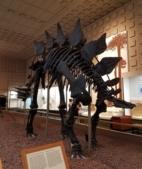 Stegosaurus display at the Yale Peabody Museum, New Haven, CT.