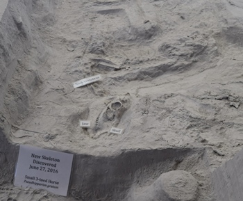 Pseudhipparion, a small three-toed horse. Ashfall Fossil Beds State Historical Park, Orchard, NE.