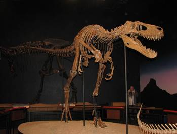 """Jane"" the juvenile T-Rex at the Burpee Museum of Natural History, Rockford, IL."