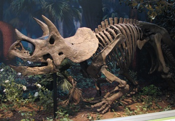 Terrific Triceratops at the Carnegie Museum of Natural History, Pittsburgh, PA.