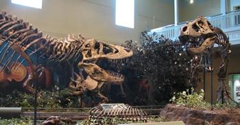 Tyrannosaurus vs. Tyrannosaurus. Carnegie Museum of Natural History, Pittsburgh, PA.