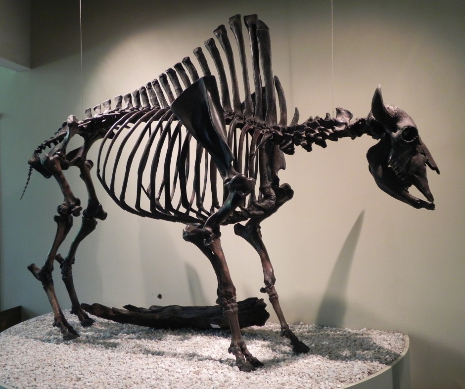 Bison antiquus display, La Brea Tar Pits & Museum, Los Angeles, CA.