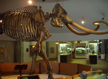Columbian mammoth skeleton display, La Brea Tar Pits & Museum, Los Angeles, CA.
