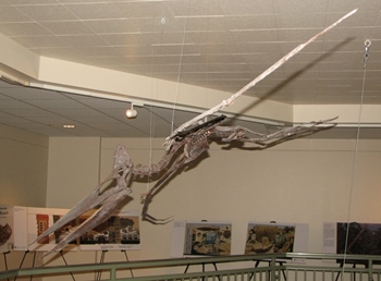 Swooping Pteranodon fossil, University of Wyoming Geological Museum, Laramie, WY.