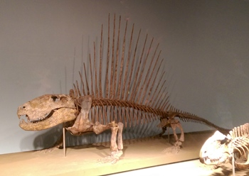 Dimetrodon display, Field Museum, Chicago, IL.
