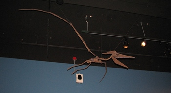 One of three Pterandon fossils at the Field Museum, Chicago, IL.