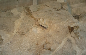 Sauropod skull and cervical verterbrae, Dinosaur National Monument, Vernal, UT.