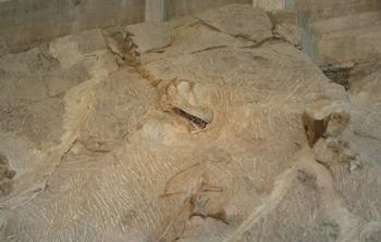 Sauropod skull and cervical verterbrae, Dinosaur National Monument, Vernal, UT.