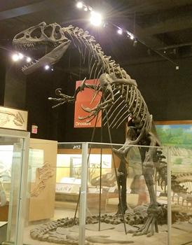 The mighty Allosaurus. University of Michigan Museum of Natural History, Ann Arbor, MI.