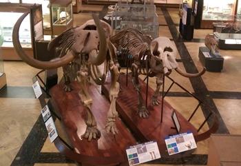 Two Mastodons at the University of Michigan Museum of Natural History, Ann Arbor, MI.