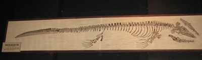The mosasaur Platecarpus, University of Michigan Museum of Natural History, Ann Arbor, MI. Photo credit: John Gnida