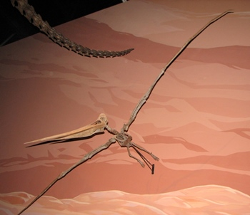 Pteranodon in flight at the Museum of Ancient Life, Lehi, UT.