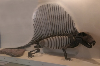 Dimetrodon display at the New Mexico Museum of Natural History, Albuquerque, NM.