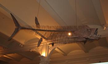 Xiphactinus display, American Museum of Natural History, New York, NY.