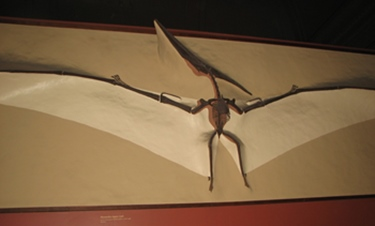 Pteranodon wall display, Smithsonian National Museum of Natural History, Washington, DC.