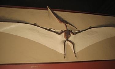 Pteranodon wall display, Smithsonian National Museum of Natural History, Washington, DC.
