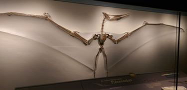 Gorgeous Pteranodon specimen, University of Kansas Museum of Natural History, Lawrence, KS.