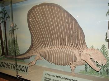 Dimetrodon display. Utah State University Eastern Prehistoric Museum, Price, UT.