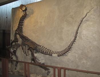Cast of juvenile Camarasaurus specimen, Dinosaur National Monument, Jensen, UT.