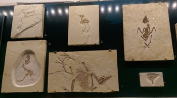 Birds from the Eocene era, The Field Museum, Chicago, IL.