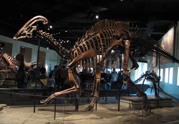 Parasaurolophus display, The Field Museum, Chicago, IL.