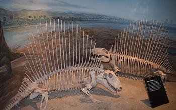 Impressive Dimetrodon display at the Royal Tyrrell Museum, Drumheller, Alberta.
