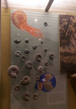 Ammonite display at the New Mexico Museum of Natural History, Albuquerque, NM.