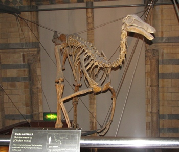 Gallimimus display, Natural History Museum, London, England.