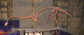 Massospondylus display on suspended platform, Natural History Museum, London, England.