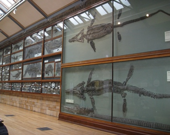 Amazing hallway full of fossil sea reptiles at the Natural History Museum, London, England.