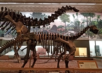 Brontosaurus and juvenile Camarasaurus in the Great Hall, Yale Peabody Museum, New Haven, CT.