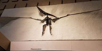 Wonderful Pteranodon display at the Yale Peabody Museum, New Haven, CT.