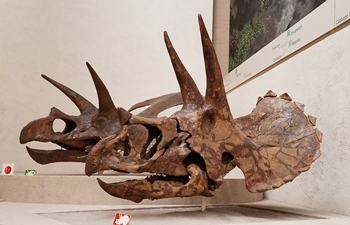 Triceratops (foreground) and Torosaurus skulls on display at the Yale Peabody Museum, New Haven, CT.