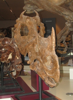 Centrosaurus skull from Dinosaur Provincial Park on display at the Royal Ontario Museum, Toronto, ON.