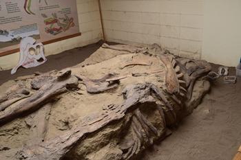 Corythosaurus skeleton at Dinosaur Provincial Park, Alberta, Canada.