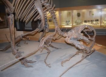 Dromaeosaurus attack on a large Corythosaurus. Dinosaur Provincial Park, Alberta, Canada.