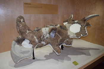 Beautiful Styracosaurus skull on display at Dinosaur Provincial Park, Alberta, Canada.