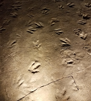 A good look at Eubrontes, the dinosaur track that is the state fossil of Connecticut. Dinosaur State Park, Rocky Hill, CT.