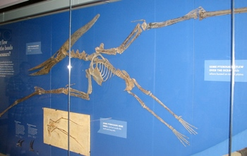 The beautiful Pteranodon fossil at the Natural History Museum of Los Angeles County, Los Angeles, CA.