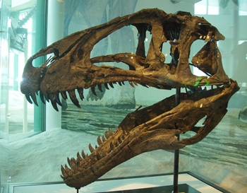 "Actual skull of ""Fran"" the Acrocanthosaurus. North Carolina Museum of Natural Sciences, Raleigh, NC."