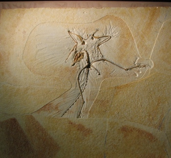 The famous Archaeopteryx on display at the Wyoming Dinosaur Center, Thermopolis, WY.