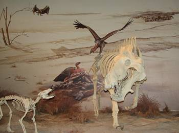 The beardog Daphoedon confronts the huge Miocene entelodont Daeodon. Agate Fossil Beds National Monument, Harrison, NE.
