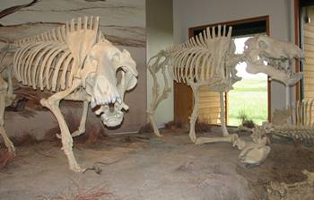 "Pair of Daeodon fossils ""scavenging"" at Agate Fossil Beds National Monument, Harrison, NE."