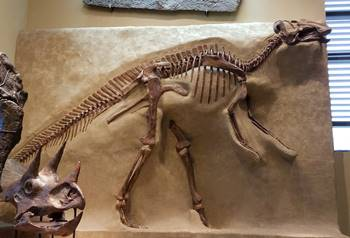 Beautiful fossil Gryposaurus at the Beneski Museum of Natural History, Amherst College, Amherst, MA.