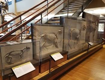 The evolution of horses, Beneski Museum of Natural History, Amherst College, Amherst, MA.