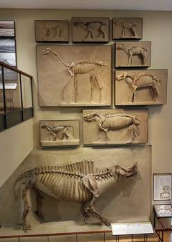 Incredible wall of ancient mammals at the Beneski Museum of Natural History, Amherst College, Amherst, MA.