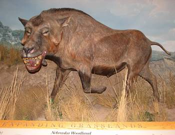 Life reconstruction of Daeodon at the Denver Museum of Nature and Science, Denver, CO.
