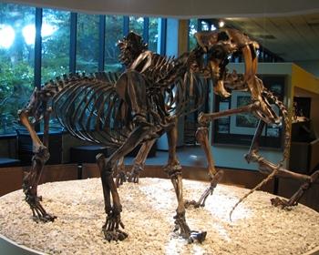 Smilodon display, La Brea Tar Pits Museum, Los Angeles, CA.